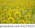 ทุ่งทานตะวัน,ดอกไม้,ทุ่งดอกไม้ 42274424