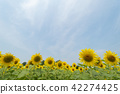 ทานตะวัน,ทุ่งทานตะวัน,ดอกไม้ 42274425