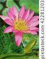 Painting, lotus, flower 42281203