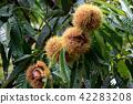Autumn taste, chestnuts 42283208