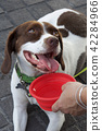 Crossbreed dog being offered water 42284966