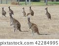 Western Grey Kangaroo, Macropus fuliginosus 42284995