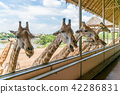 Giraffes heads in safari park.  42286831