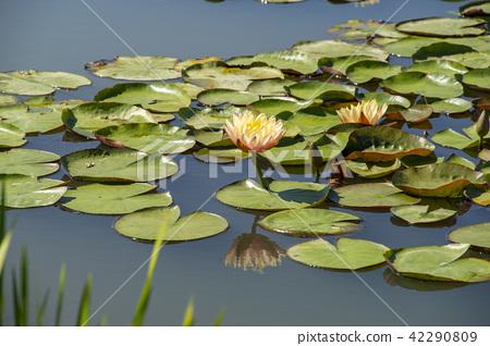 Water Lily, Gangjiji, Siheung, Gyeonggi-do 42290809