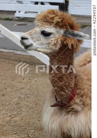alpaca 42294597
