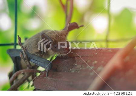 Muzzle bat close up in nature 42299123