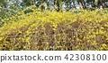 早春花卉背景材料·花枝延伸著鮮黃色的花朵Forsyth·水平位置 42308100