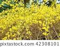 早春花卉背景材料·花枝延伸著鮮黃色的花朵Forsyth·水平位置 42308101