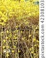 早春花背景材料·花枝伸展與明亮的黃色花Fr.位置 42308103