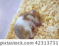 잠자는 얼굴, 잠든 얼굴, 햄스터 42313731