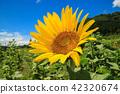 해바라기, 여름, 꽃 42320674