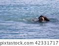 Alaska's wild sea otter 42331717