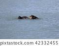 Alaska's wild sea otter 42332455