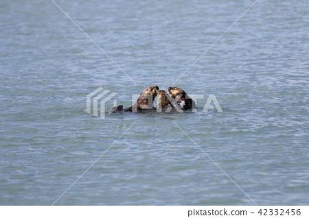 Alaska's wild sea otter 42332456