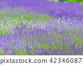라벤더, 라벤더 밭, 허브 42346087