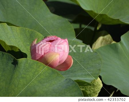 Ogajas桃紅色花在千葉公園的 42353702