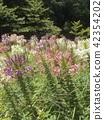 醉蝶花屬 一年生植物 花朵 42354202