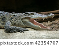 Siamese crocodile with open mouth  42354707
