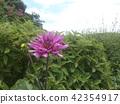 ดอกไม้,แปลงดอกไม้,ฤดูร้อน 42354917