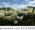 ไฮแดรนเยีย,ดอกไม้,ท้องฟ้าเป็นสีฟ้า 42354918