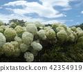 ไฮแดรนเยีย,ดอกไม้,ท้องฟ้าเป็นสีฟ้า 42354919