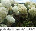 安娜貝爾 繡球花 花朵 42354921