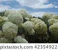 ไฮแดรนเยีย,ดอกไม้,ท้องฟ้าเป็นสีฟ้า 42354922