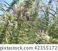 醉蝶花屬 一年生植物 花朵 42355172