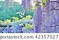 初夏花草樹木的背景材料·紫藤樹的紫藤花蕾·水平位置 42357027