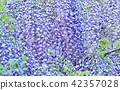 初夏的花樹背景材料·紫藤花架的富士花蕾·水平位置固體 42357028
