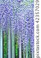 初夏的花樹背景材料·紫藤格子的富士花蕾·垂直位置 42357029