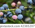 blueberries, blueberry, fruit 42365207
