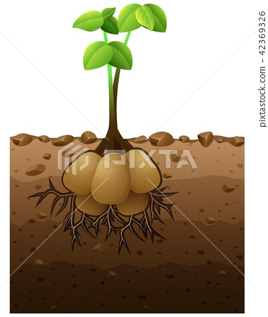 Vector illustration of Potato plant with roots 42369326