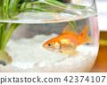 어항의 금붕어 한 마리 여름 이미지 42374107