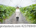 딸기 농가 42376949