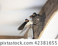 Swallow's chick 42381655