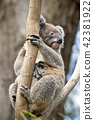 Koala siting on the branch in the zoo. Australia. 42381922