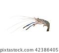 Giant freshwater prawn, Fresh shrimp isolate 42386405