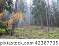 Autumn coniferous forest in the morning 42387735