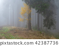 Autumn birch in coniferous forest 42387736