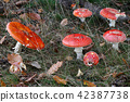 Amanita muscaria - fly poison amanita 42387738