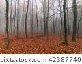 Foggy autumn beech forest 42387740