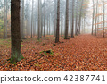 Beech forest in autumn 42387741
