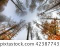 Misty haze in a beech forest in autumn 42387743