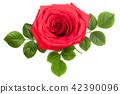 กุหลาบ,ดอกกุหลาบ,สีแดง 42390096