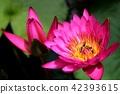 Beautiful lotus flowers in tropical 42393615
