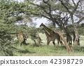 马塞长颈鹿的父母和孩子 42398729