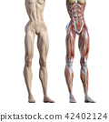 muscular, muscle, muscles 42402124