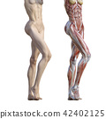 muscular, muscle, muscles 42402125