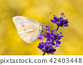 White butterfly on violet lavender 42403448
